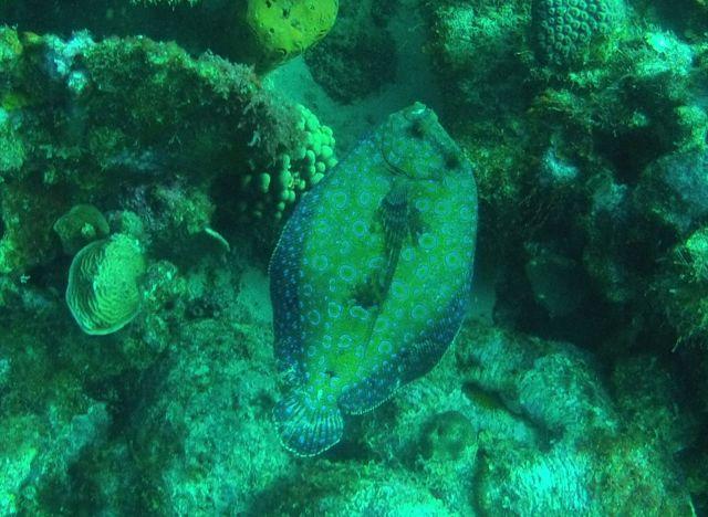 een prachtige groenblauwe platvis