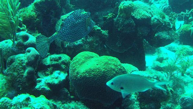 honeycombfish, jammer dat de kleuren verdwijnen, er zit geen onderwaterstand op de gopro.