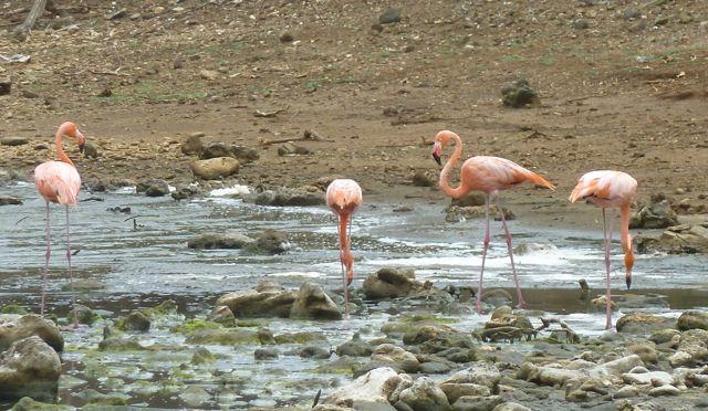 Bonaire is natuurlijk ook bekend om al zn flamingo's die in de zoutvelden staan te grazen