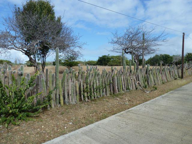 Overal zie je hekken van cactussen, heel effectief!
