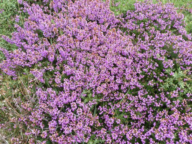 paarse heide begin augustus