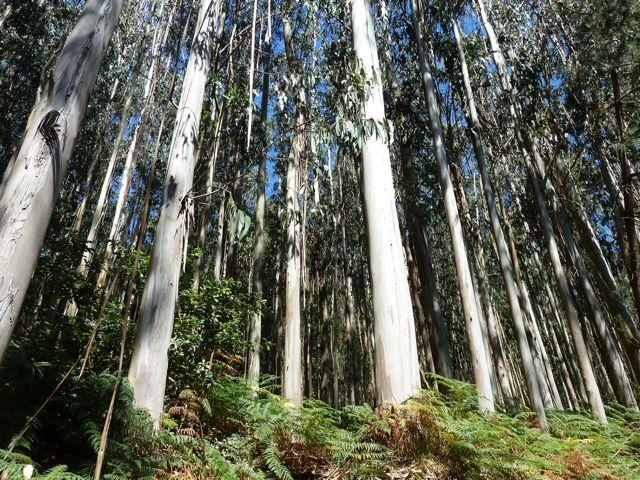 de wandeling langs de rivier; de oevers waren getooid met kaarsrechte eucalyptusbomen