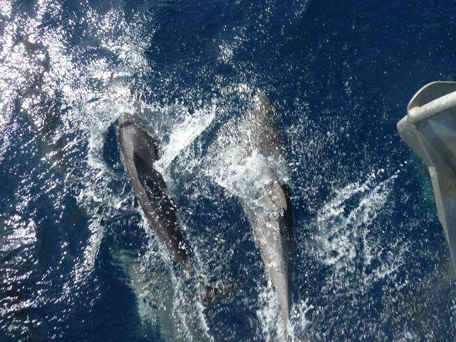 En deze reis weer vergezeld door grote groepen dolfijnen, kleiner en wat gespikkelde buiken nu