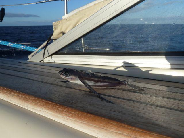 De eerste vliegende vissen aan boord