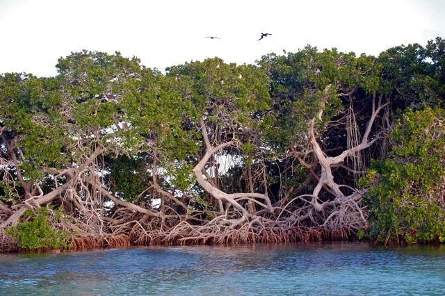 Mangrovewoud, prachtige bomen waar de vogels graag in nestelen
