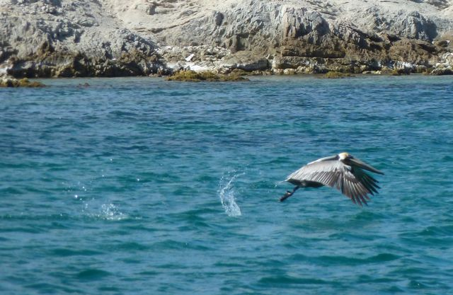 We zien er de eerste pelikanen