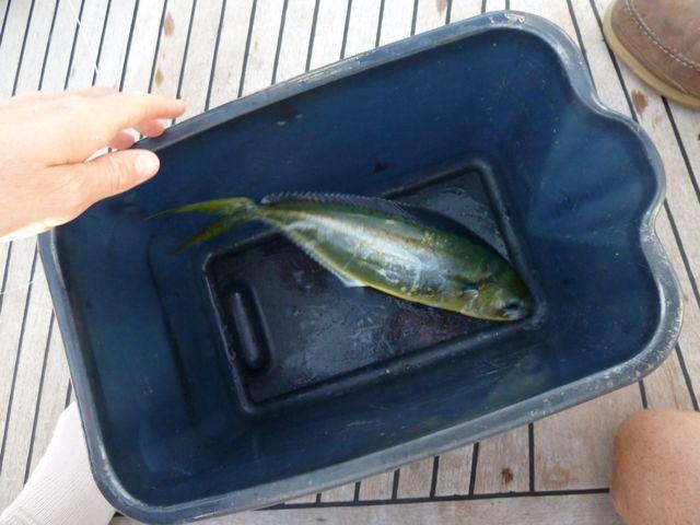 tot ineens de vislijn ging ratelen, aan de bak. Deze nog kleine mahi-mahi hebben we vrijgelaten.