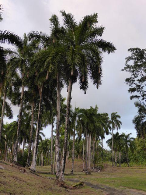die aan de uiteinden van palmtakken hangen