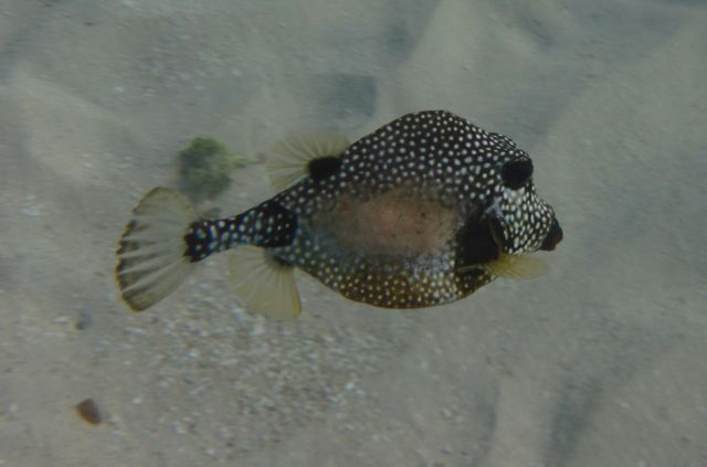 Mooi visjes, volgens mij een puffervis, maar heb mn bijbel even niet bij me