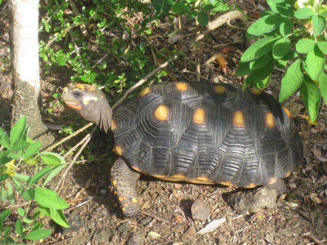De eerste landschildpad die we zien
