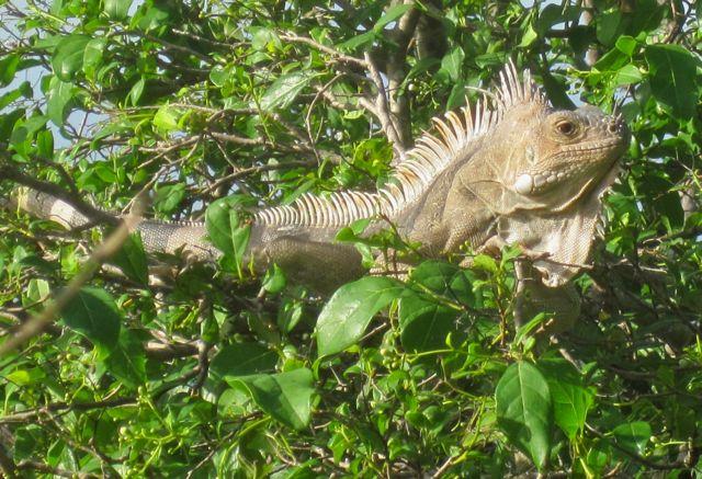 Leguaan in de boom, wat een bijzondere schepsels. 1 overeenkomst met mij: ze houden ook van zon.